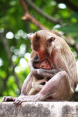 Mother monkey is breastfeeding her baby — Stock Photo