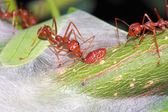 Ant eat a drop of a sweet from aphid — Stock Photo