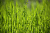 Background of the green young grass — Stock Photo