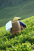 Picking up tea — Stock Photo