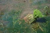 Rijstvelden zaad — Stockfoto