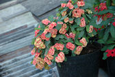 Euphorbia — Stock Photo