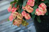 Euphorbia — Foto Stock