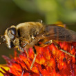 Stock Photo: Dancing Hoverfly in extreme Macro view