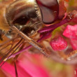Stock Photo: Hoverfly extreme Macro