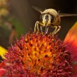 Stock Photo: Bee on colorful flower