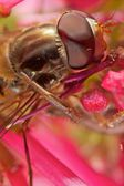 Hoverfly extreme Macro — Stock Photo
