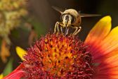 Bee on colorful flower — Stock Photo