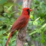 Cardinal — Stock Photo #3661070