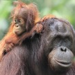 Orangutan mother and son — Stock Photo