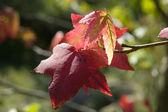 Feuilles d'un érable rouge — Photo
