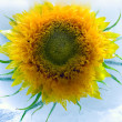 Sunflower in ice — Stock Photo