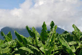 Banana leaves and sky — Stock Photo