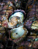 Oyster shell with pearl — Foto Stock