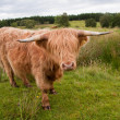 Highlandcattle — Stock Photo #3706646