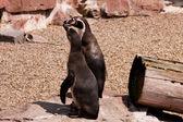 Zwei Pinguine — Stok fotoğraf