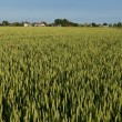 Green rye field - Stock Photo