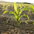 Stock Photo: Young Corn plant