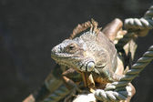 Iguana — ストック写真