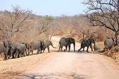 Elephant crossing — Stock Photo