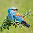 Portrait of an European Roller sitting on a branch — Stock Photo