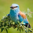 Royalty-Free Stock Photo: Portrait of an European Roller sitting on a branch