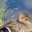 Duck by the side of the lake - Stock Photo