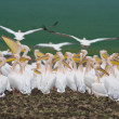 Pelican colony — Stock Photo
