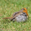Stock Photo: Robin