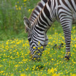Zebra at zoo — Stock Photo