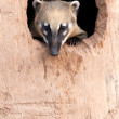 Ring -tailled coati - Stock Photo