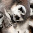 Ring-tailled lemur — Stock Photo
