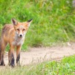 Young fox — Stock Photo