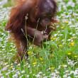 Young baby orangutan - Stock Photo