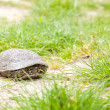 European pond terrapin - Stock Photo