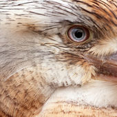 Blue Winged Kookaburra — Stock Photo