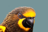 Duyvenbode's Lory — Stock Photo