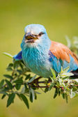 European Roller — Stock Photo
