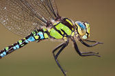 Southern Hawker — Stock Photo