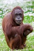 Orangutan portrait — Stock Photo