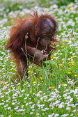 Young baby orangutan — Stock Photo