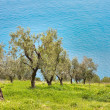 Olive orchard - Stock Photo