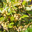Stock Photo: Bay Laurel