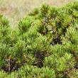Pinus Mugo — Stock Photo