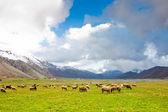 Sheep at Lago del Matese — Stock Photo
