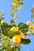 Citron träd — Stockfoto