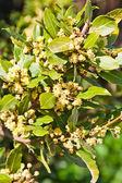 湾月桂树 — 图库照片