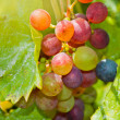 Stock Photo: Close-up of a bunch of grapes on grapevine
