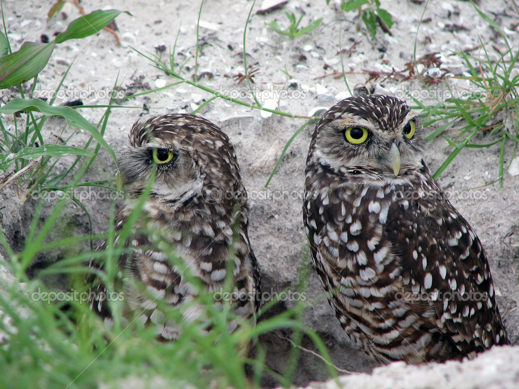 A close up photo of burrowing owls. — Stock Photo #3669355