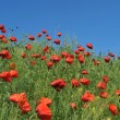 Red poppies — Stock Photo #3626610